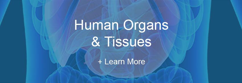 Human Organs Tissues